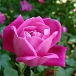 روش نگهداری و هرس کردن گل رز