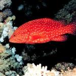 هامور ماهی قرمز خال آبی