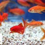 خطر انتقال بیماری از ماهی عید