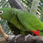 آموزش نگهداری طوطی آمازون