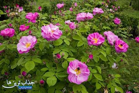 آموزش نگهداری گل محمدی