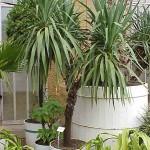 روشهای تکثیر گیاه یوکا