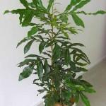 معرفی گیاه استنوکارپوس