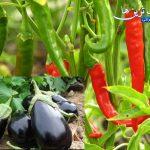روش کاشت فلفل قرمز و بادنجان