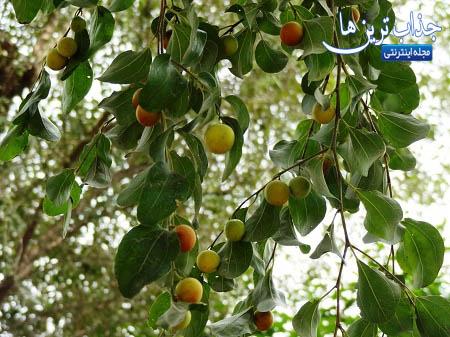 آشنایی با خواص میوه کنار