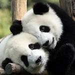 عکس های زیبا از خرس های پاندا